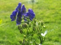 Monkshood - 4