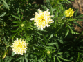 white marigolds