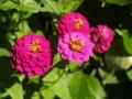 pink zinnias closeup