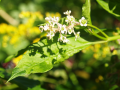 Pokeweed Blossoms