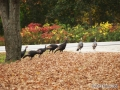 turkeys3-oct2013