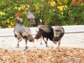 turkeys5-closeup-oct2013