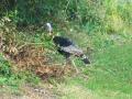 wild turkey - 2