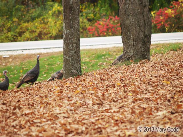 turkeys1-oct2013