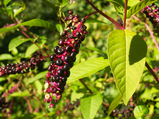 Pokeweed A Wild Plant In New Hampshire