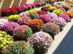 Pitarys Farm - Colorful Chrysanthemums