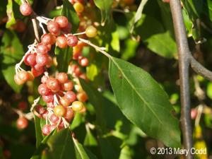 Japanese Silverberries